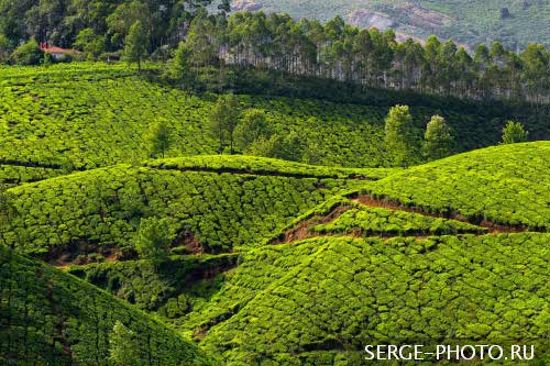 Indian tea  Munnar is famed for its emerald green surroundings, lakes, reservoirs, forests, spice gardens, and tea estates. Popularly known as the tea town of Kerala , it has some of the highest tea estates in the world.
