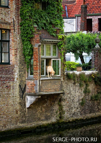 In Bruges  The yellow labrador retriever enjoys his special spot in the open window on the Groenerei Canal.
