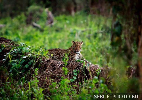 In search of the elusive Leopard  Leopards are nocturnal animals, meaning they are active at night. During the day, they rest in thick bush or in trees. Leopards are solitary, preferring to live alone. They are very agile and good swimmers. They are able to leap more than 20 feet.